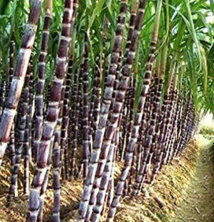 Sugarcane, UP Sugar Mills