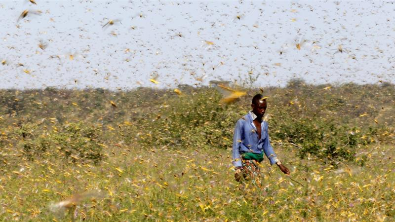 Grasshopper plague, East Africa